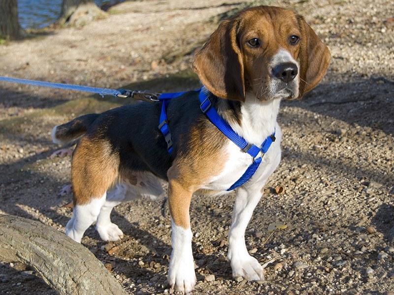 pettorina per cani modelli